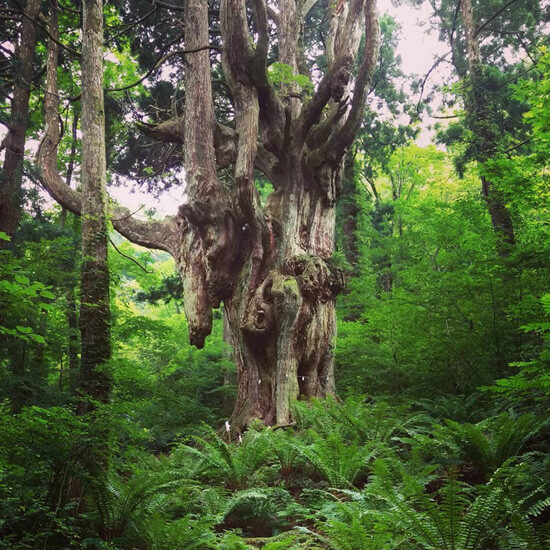 神秘的な存在感!御神木「岩倉の乳房杉」