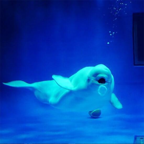 シロイルカのバブルリングで幸せになる!しまね海洋館アクアス
