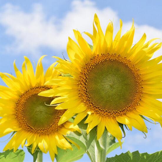 一面黄色!元気に咲き誇る斐川ひまわり畑