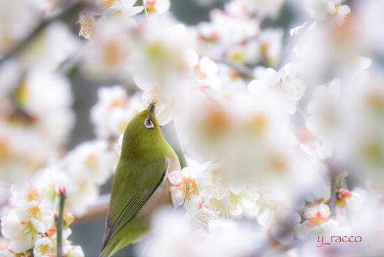 鳥も歌うやわらかな季節♪花の名所、斐川公園