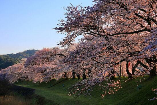 「日本さくら名所100選」認定!斐伊川堤防桜並木