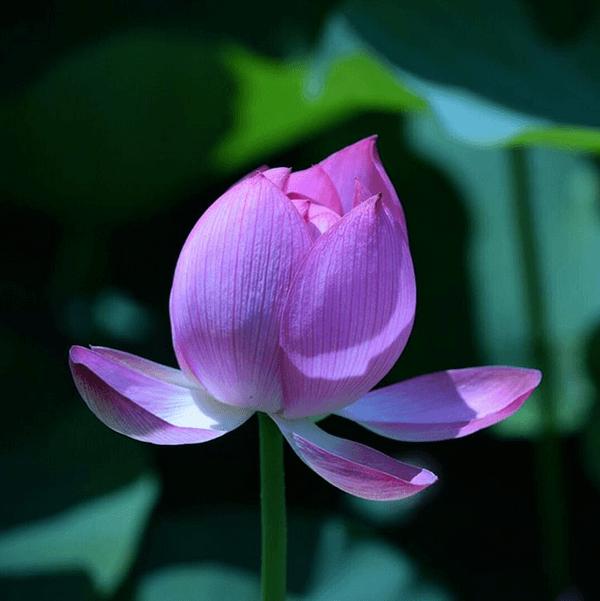 二千年のときを経て花咲く二千年ハス