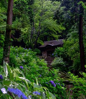 3万本の紫陽花が見頃!「山陰のあじさい寺」月照寺